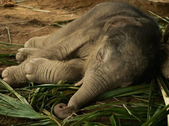 Baby-elephant-sleeping-in-the-Netherlands
