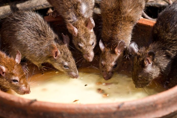 five rats in a house in the Netherlands