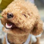 poodle dog breeds netherlands