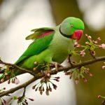 rose-ringed-parakeet-4070856_960_720