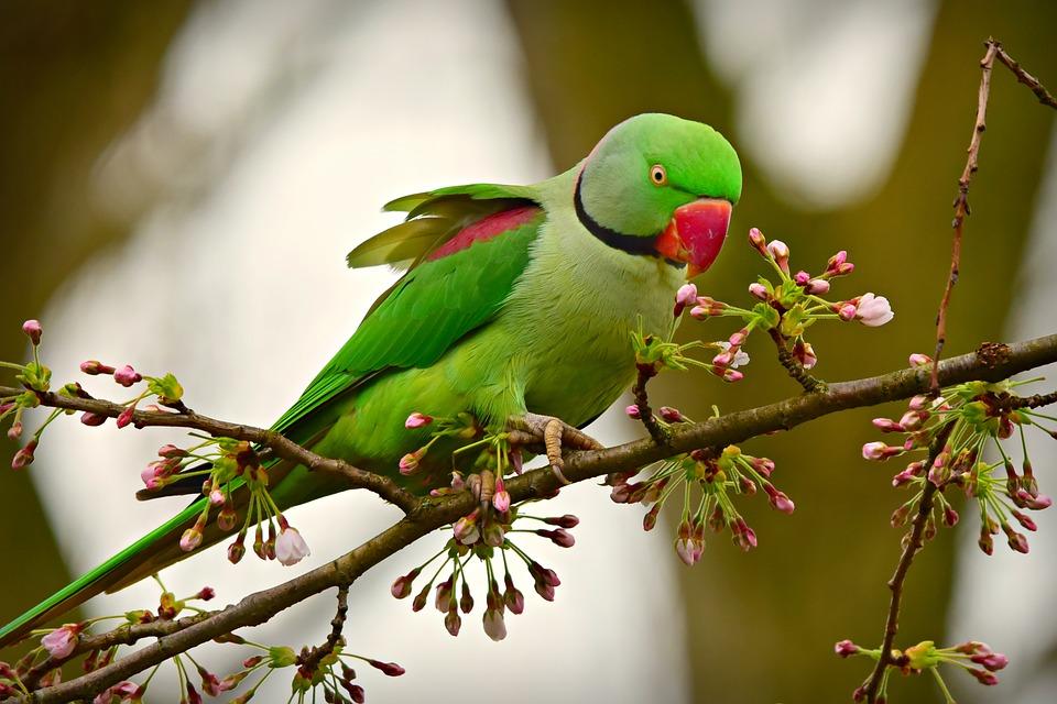 wildlife in the netherlands parakeet