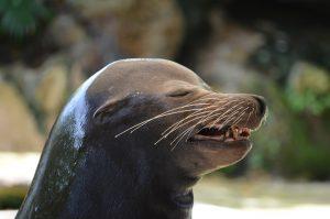 sea-lion-1407790_1920