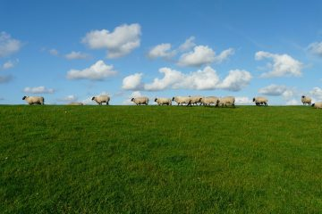 sheep-57706_1920