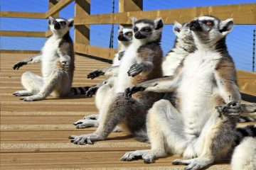 Lemurs in the sun