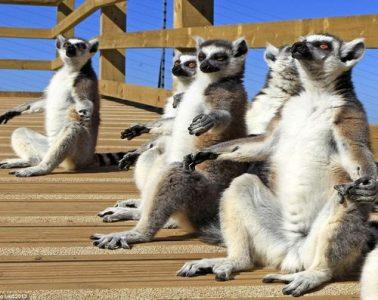 Lemurs in the sun