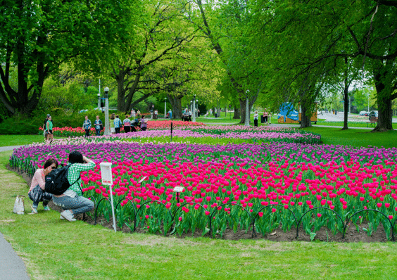 If I got that close to those tulips, they'd get the Ned Stark treatment, except that the axe would be my sneeze. (Source: Ottawa Toursim)