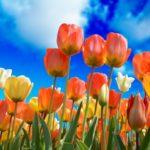 tulips-3251607_1920
